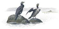Nr.58 Storskarv (Phalacrocorax carbo)