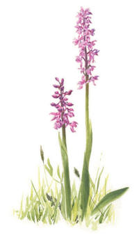 Nr.816 Sankt Pers nycklar (Orchis mascula)